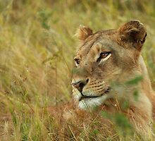 African Lioness, Okavango Delta by Brian Healy Photography
