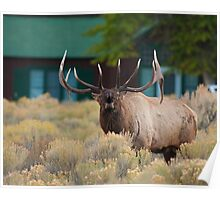 Disturbing the Peace, Bugling Elk in Mammoth Hot Springs Village Poster