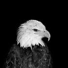 eagle by photo-kia