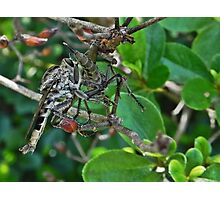 Fly Robber Photographic Print
