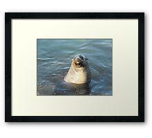 Australian Fur Seal Framed Print