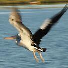 pelican in flight by footsiephoto