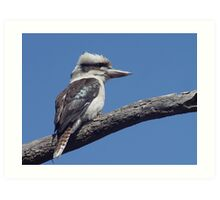 Kookaburra at Old Bar Beach Art Print