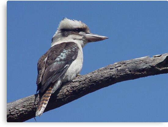 Kookaburra at Old Bar Beach by Gary Kelly