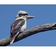 Kookaburra at Old Bar Beach Photographic Print