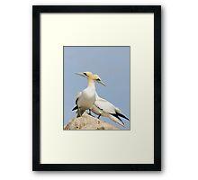 Opposite point of view, gannets, saltee Island, County Wexford, Ireland Framed Print