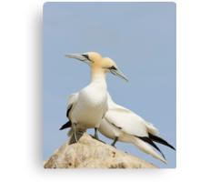 Opposite point of view, gannets, saltee Island, County Wexford, Ireland Canvas Print