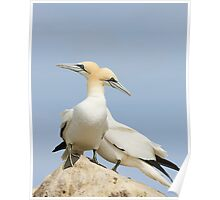 Opposite point of view, gannets, saltee Island, County Wexford, Ireland Poster
