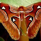 ATTACUS ATLAS by Johan  Nijenhuis
