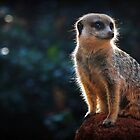 Meerkat Lookout by Jill Fisher