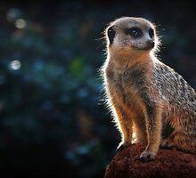 Meerkat Lookout by Jill Fisher