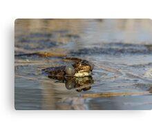 Marsh Frog Metal Print