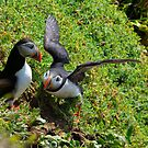Puffin courtship, Saltee Isand, County Wexford, Ireland by Andrew Jones