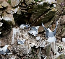 Upset in the kittiwake colony, Saltee Island, County Wexford, Ireland by Andrew Jones