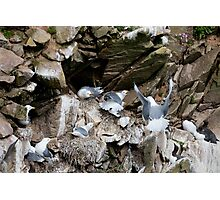 Upset in the kittiwake colony, Saltee Island, County Wexford, Ireland Photographic Print