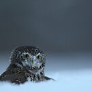 Pygmy Owl by Remo Savisaar