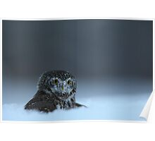 Pygmy Owl Poster