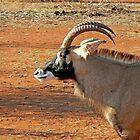 Roan Antelope by Graeme  Hyde