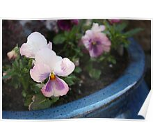 Pansy in a pot Poster