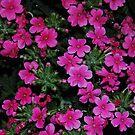 Pink Verbena by Jonice