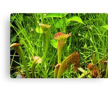 Pitcher plant Canvas Print