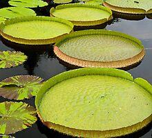 Lily pads by Thad Zajdowicz