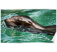 Aquatic Sea Lion Poster