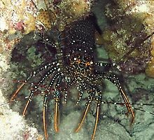 Caribbean Spotted Lobster at night by Amy McDaniel