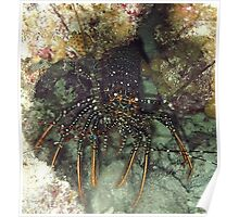 Caribbean Spotted Lobster at night Poster