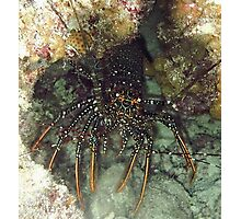 Caribbean Spotted Lobster at night Photographic Print