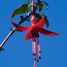Blue Sky Fuchsia by David  Moss