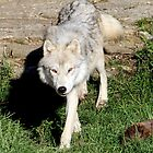 Grey Wolf by vette