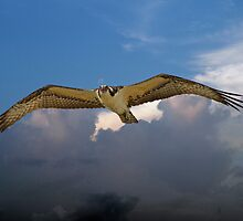 OSPREY flys right over my head by Photography by TJ Baccari