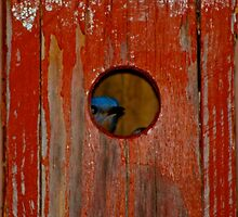blue bird Red Box by Farley