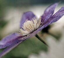 Clematis by marycarnahan