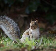 Grey Squirrel by shaftinaction