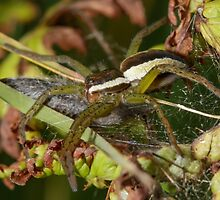 Raft Spider by shaftinaction
