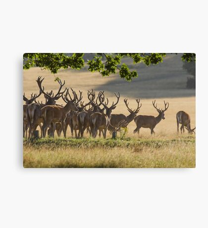Red Deer Stags Canvas Print