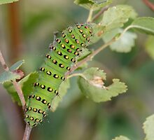 Emperor Moth Caterpillar by shaftinaction