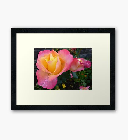 Pink And Yellow Beauty Framed Print