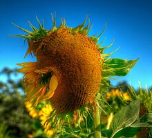 Sunflower Kiss by Monica M. Scanlan