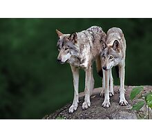 If you call one wolf, you invite the pack Photographic Print