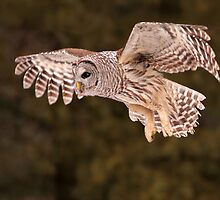 Barred Owl In Flight II by Gary Fairhead