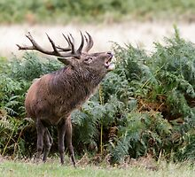 Red Deer stag by shaftinaction