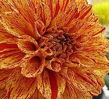 Show-Stopping Dahlia by Monnie Ryan