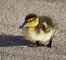 Mallard Duckling by shaftinaction