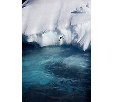 Antarctic bird Photographic Print