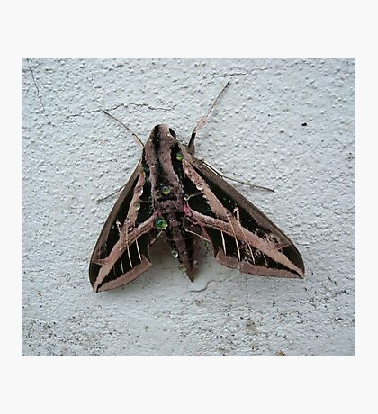 Sphinx Moth After Rain Photographic Print