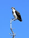 Osprey in Medicine Bow Ranges, Wyoming by Graeme  Hyde