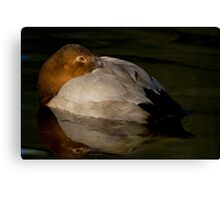A Laid-back Canvasback Canvas Print